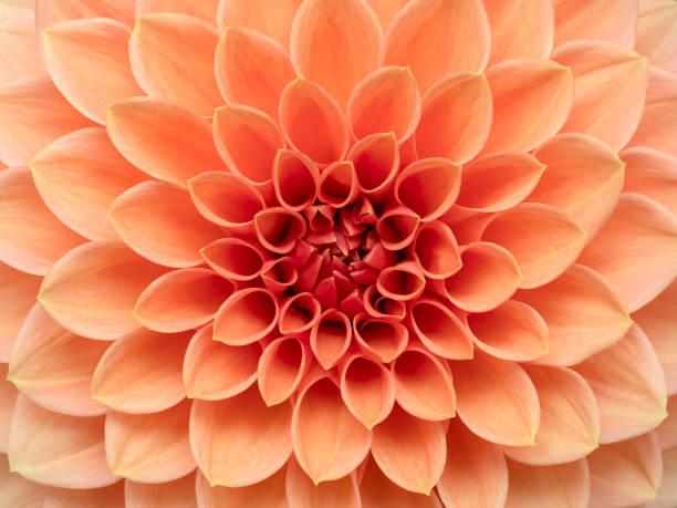 Pink Dahlia Flower Close Up stock photo