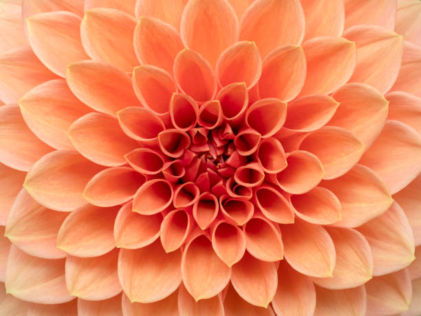Pink Dahlia Flower Close Up stock photo