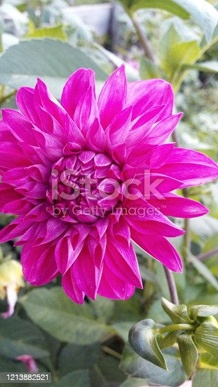 Beautiful Pink dahlia at the garden
