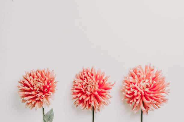 Pink dahlia flower on white background picture id1173951406?b=1&k=6&m=1173951406&s=612x612&w=0&h=arnlc5plgnrj xasgwufganbng7tw pmnp0lmuied g=