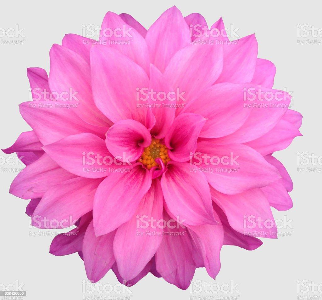 Pink dahlia flower stock photo more pictures of blossom istock pink dahlia flower royalty free stock photo izmirmasajfo