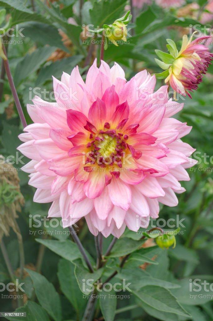 Photo Libre De Droit De Fleur Rose Dahlia Banque D Images Et