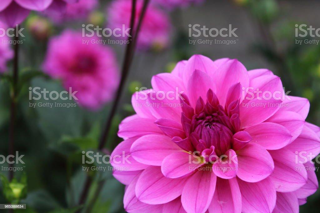 pink dahlia flower vicus beda zbiór zdjęć royalty-free