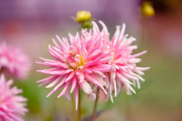 Pink Dahlia Flower with defocused background with copy space stock photo
