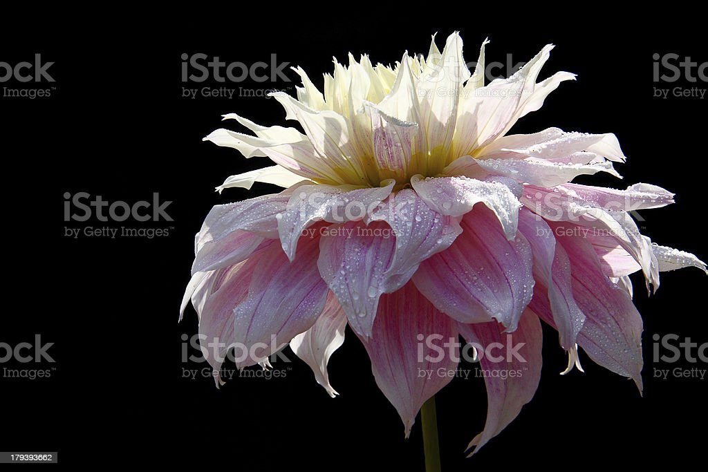 Pink Dahlia Flower with dew drops isolated on Black royalty-free stock photo