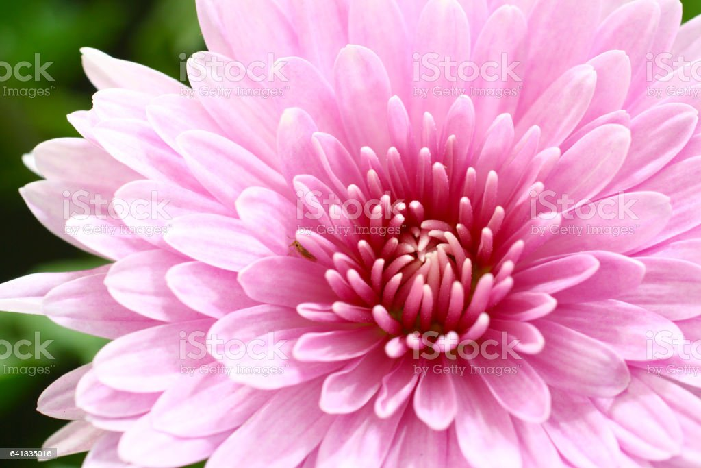 Pink dahlia flowers blooming stock photo