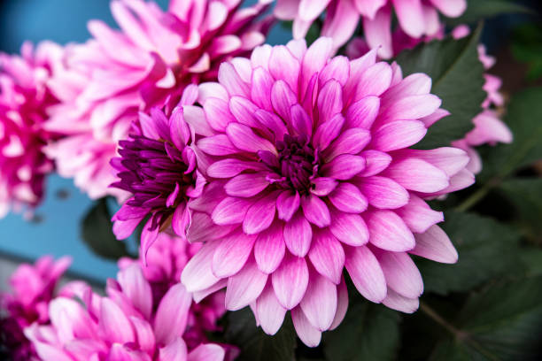 Pink dahlia flowers, detail shot with consistent sharpness stock photo