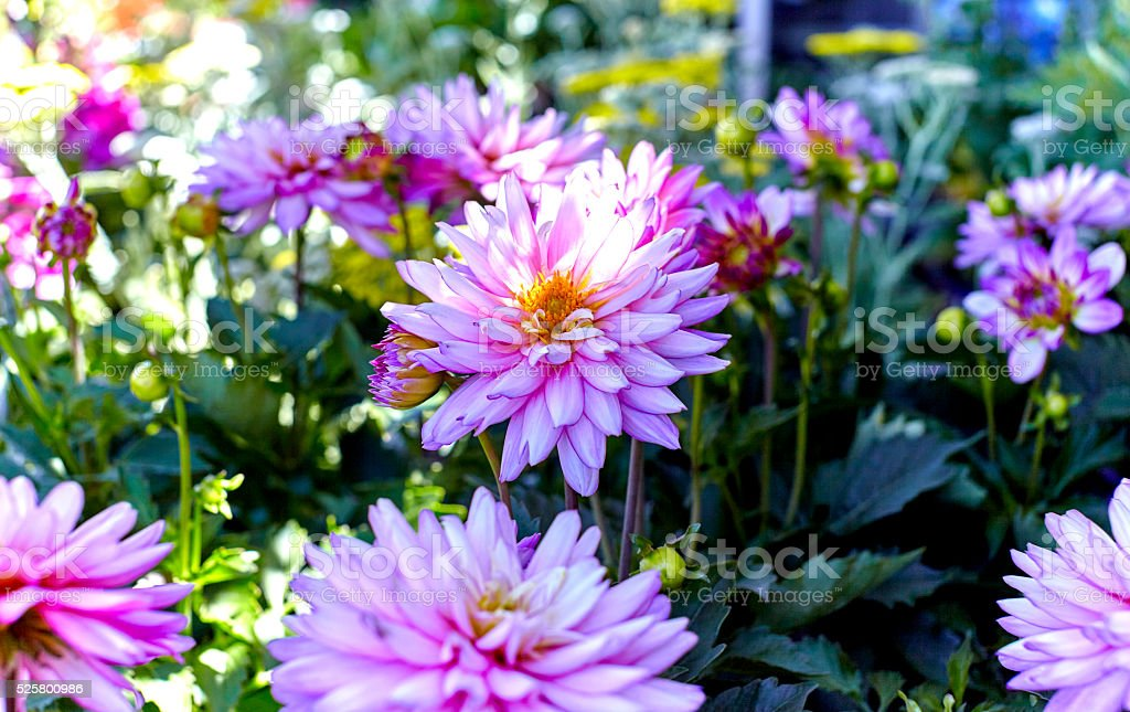 Pink Dahlia Flowers in a Flower Bed stock photo