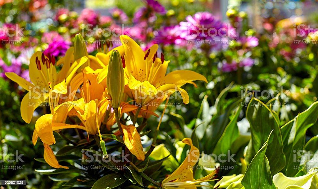 Pink Dahlia in a Flower Garden stock photo