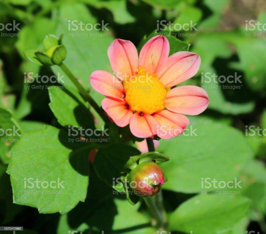 Rosa Dahlie in voller Blüte, Sonnenlicht, Knospen und Blätter – Foto