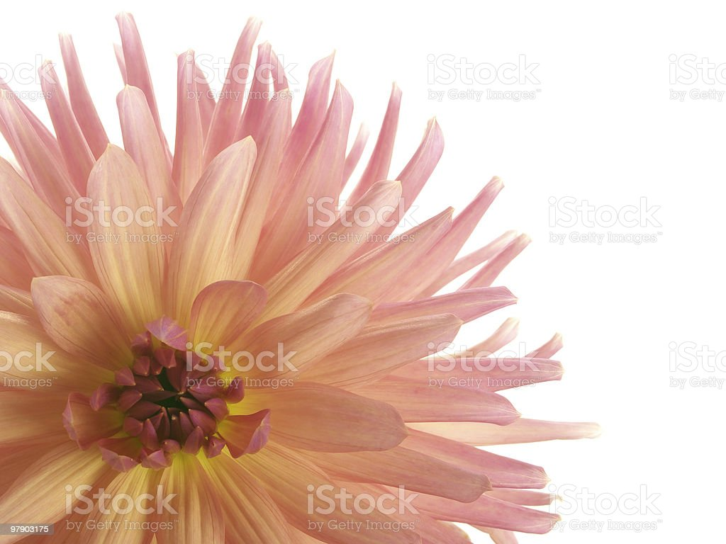 Pink dahlia in the corner royalty-free stock photo