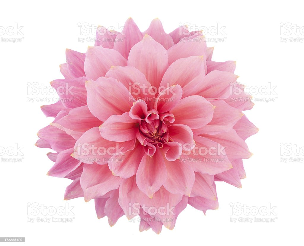 pink dahlia isolated royalty-free stock photo