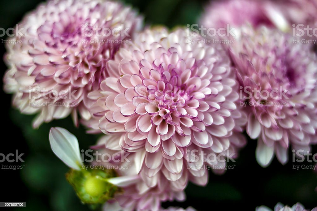 Pink Dahlia Josie Gott stock photo