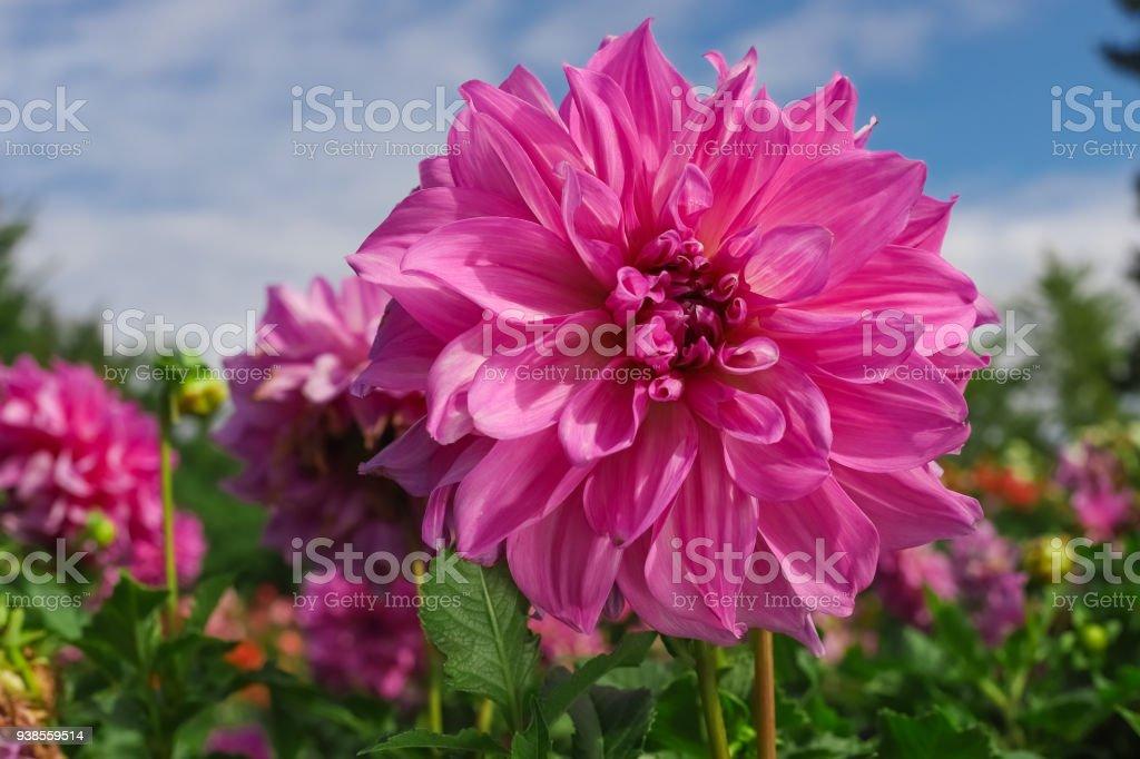 pink dahlia large flowers stock photo