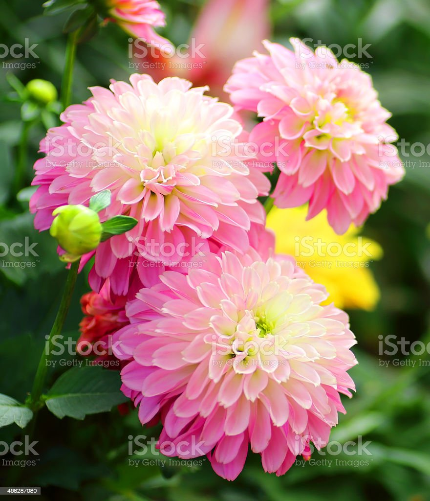 Pink Dahlias Flower Background Stock Photo More Pictures Of 2015