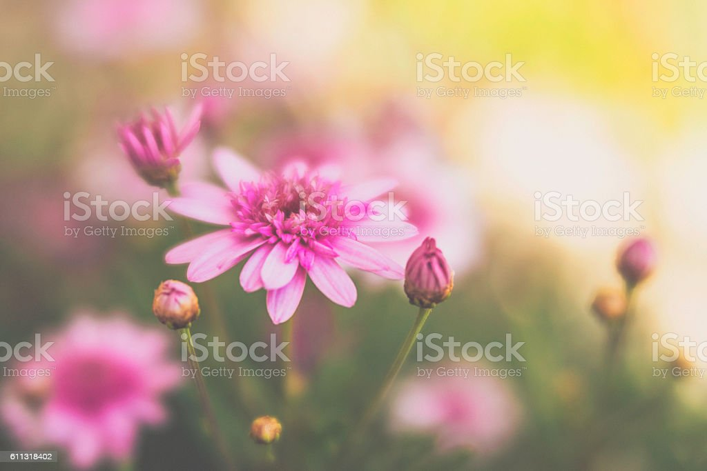 Pink dahlias growing in warm sunlight stock photo