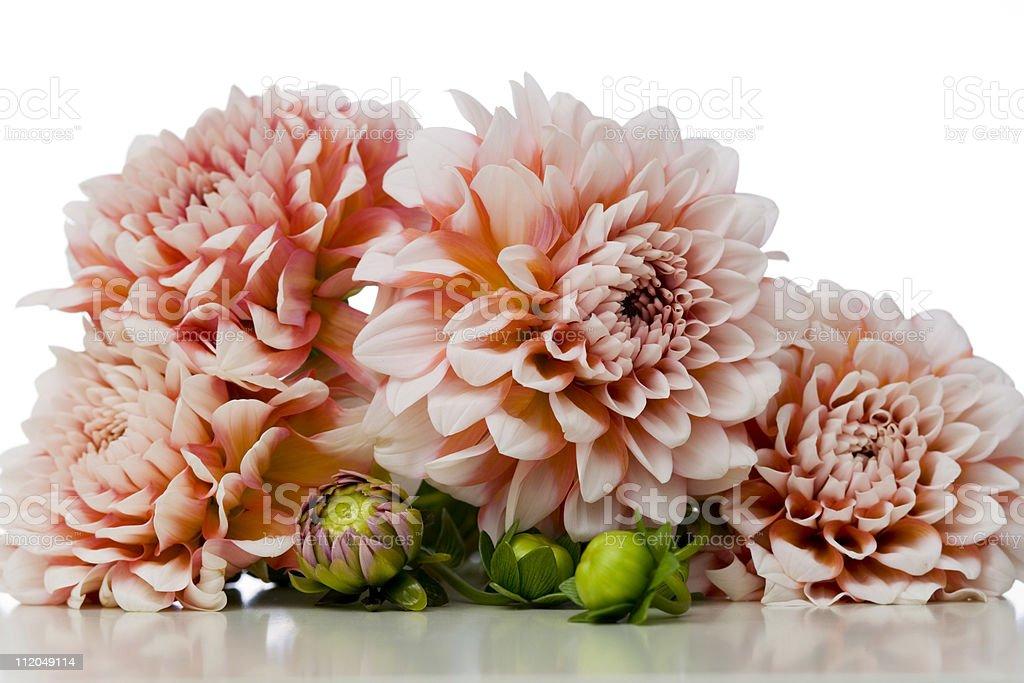 Pink Dahlias royalty-free stock photo