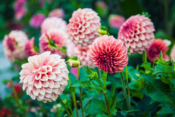 dahlias rose - Photo