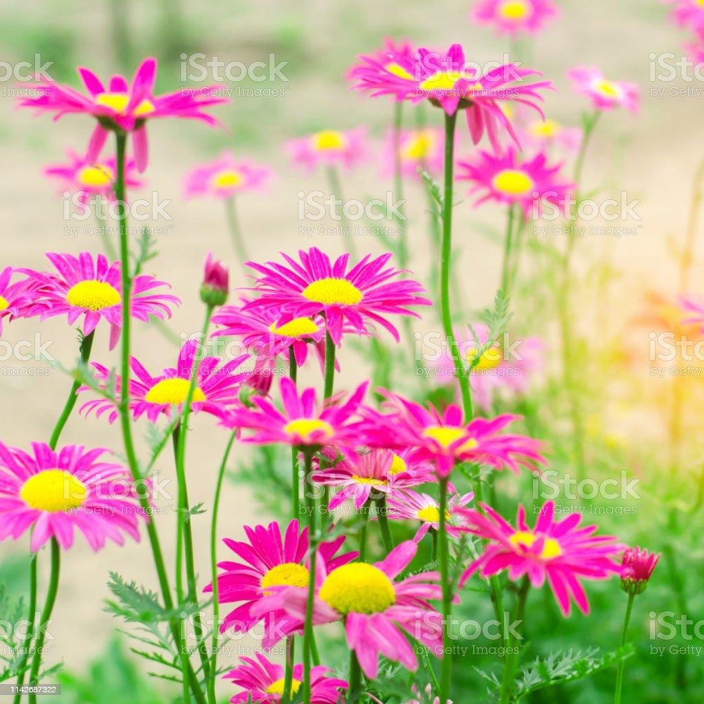 庭のピンクのヒナギク自然の壁紙デザインの背景テキスト用の場所春の花
