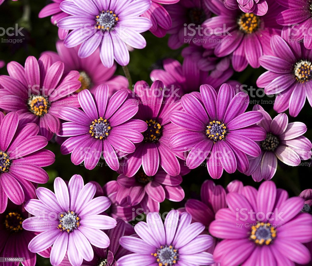 Pink Daisies royalty-free stock photo