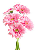 istock Pink Daisies (with Clipping Path) 185082277