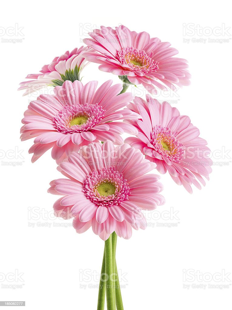 Pink Daisies (with Clipping Path) stock photo