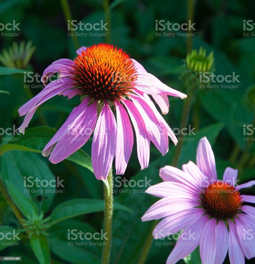 Pink Daisies #1 stock photo