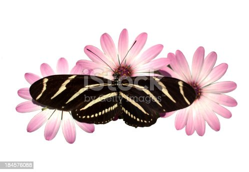 A Zebra Longwing Butterfly lands on Pink Daisies for a snack isolated on white