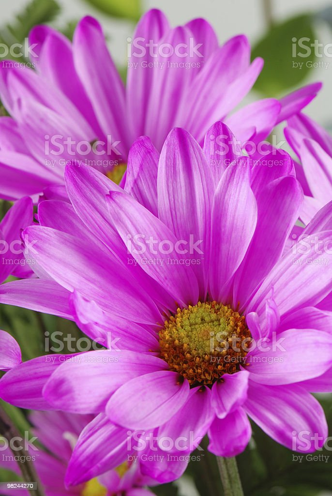 Pink daisy flower royalty-free stock photo