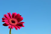 Beautiful bright pink daisy smoky Gerbera again at the summer blue sky. Plenty of copy space. Focus is on the pink flower.