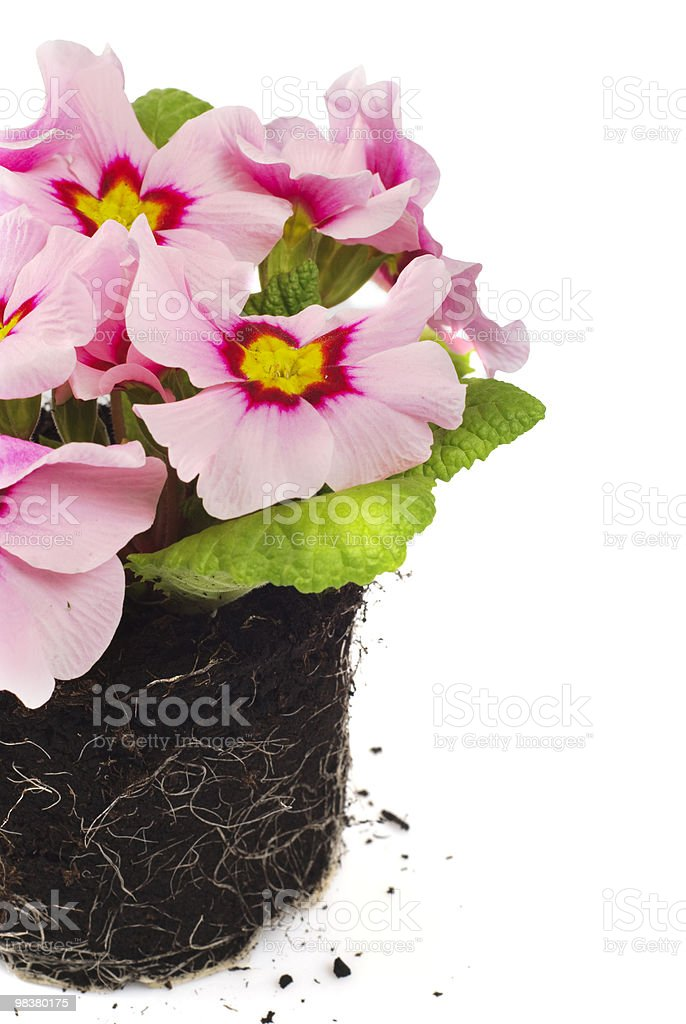 Pink daisy in soil royalty-free stock photo