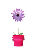 Pink daisy isolated in pot - others also available in my portfolio