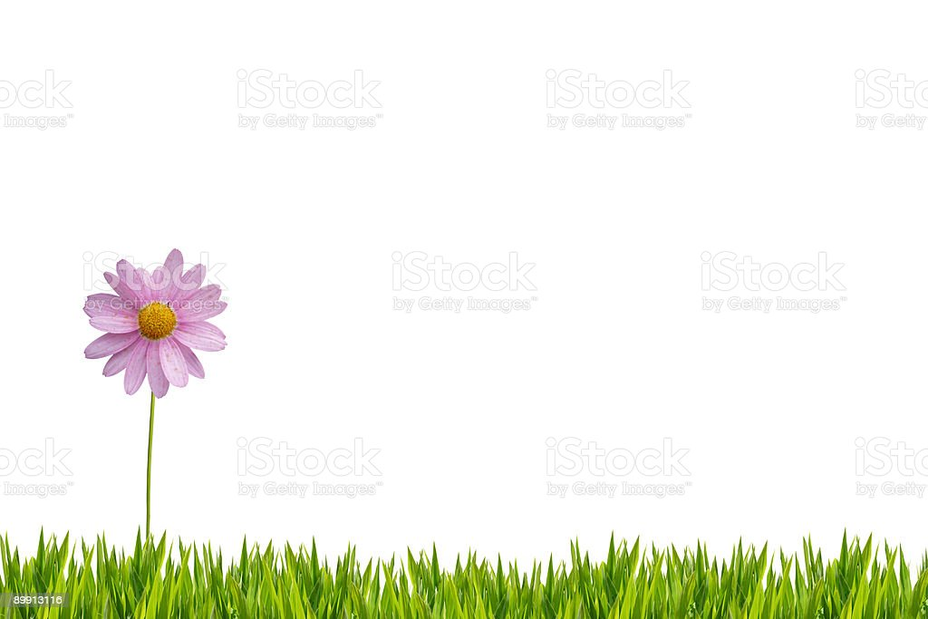 Pink daisy isolated with grass XXL royalty-free stock photo