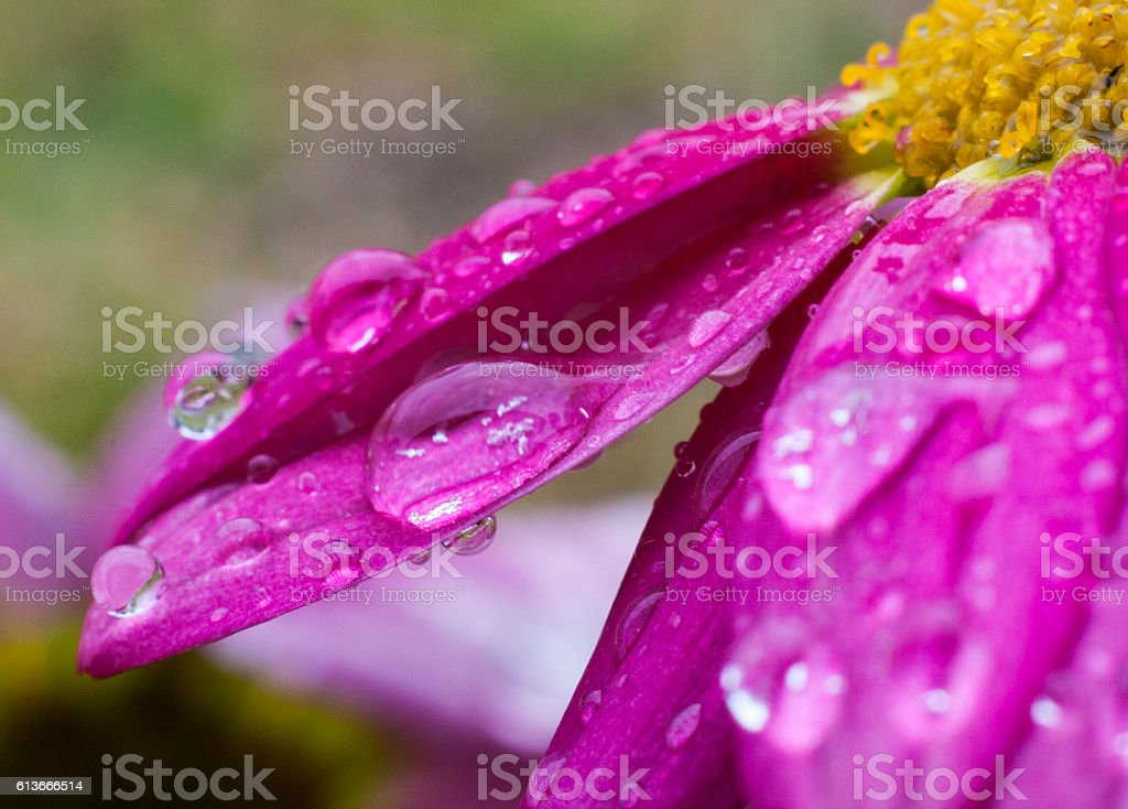 Pink Daisy Petals with Water Droplets stock photo