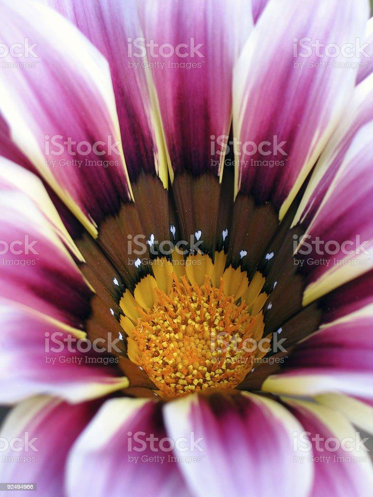 pink daisy royalty-free stock photo