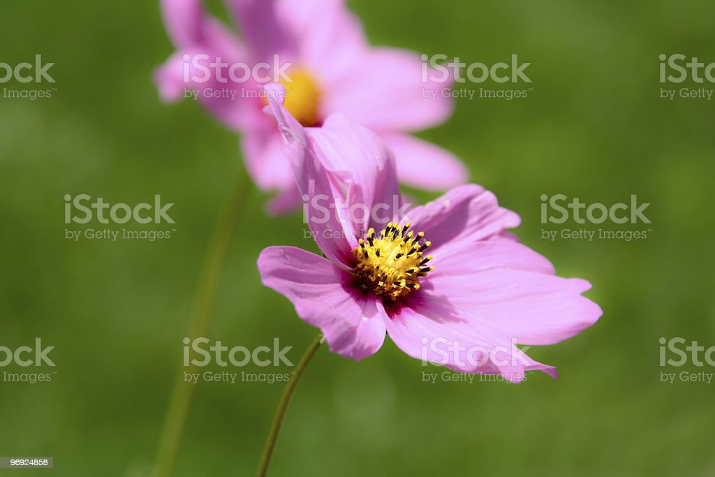 Pink daisy royalty-free stock photo