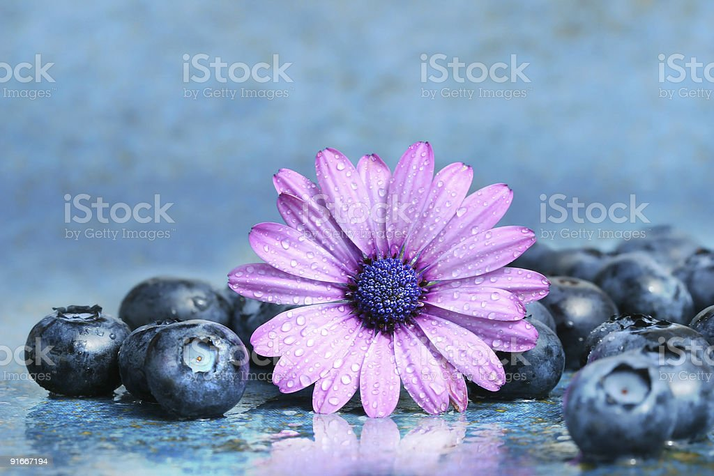 Pink daisy with blueberries royalty-free stock photo