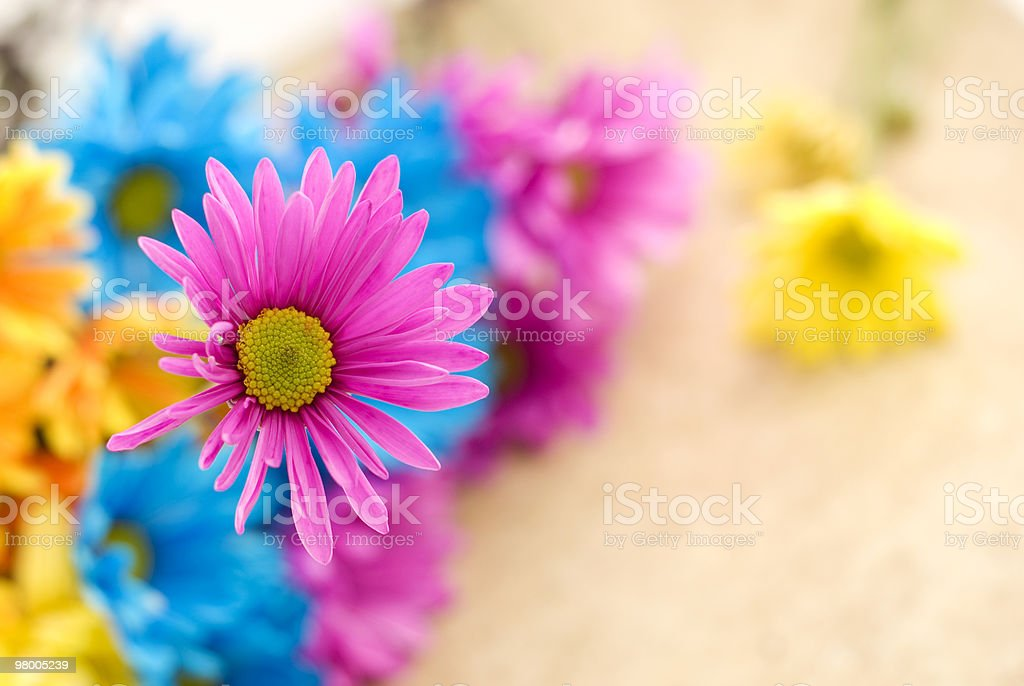 Pink Daisy with Shallow Depth of Field royalty free stockfoto