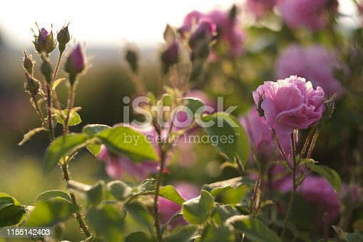 pink damask rose bush closeup on field background, local focus, shallow DOF