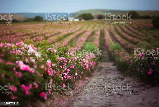 Pink damask rose bush field background rose form for aromatherapy and picture id1126173915?b=1&k=6&m=1126173915&s=612x612&h=7t9h4enis88ifgstz36if5anqfqxvuqx ssfryxfizc=
