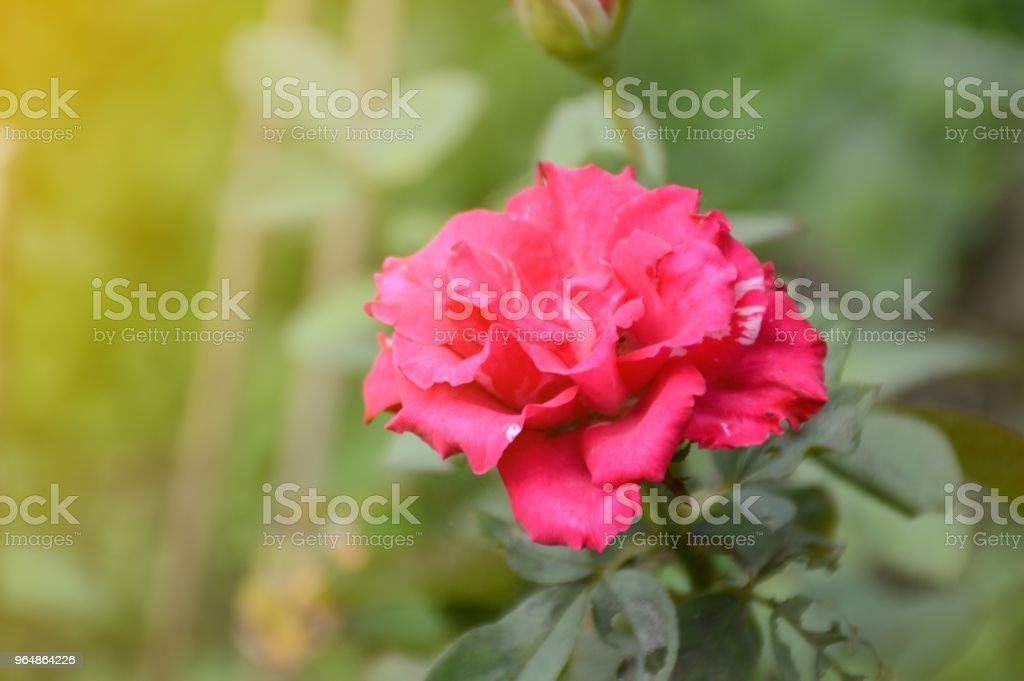 pink damask rose flower in nature garden royalty-free stock photo