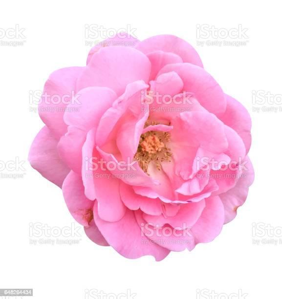Pink damask rose flower picture id648264434?b=1&k=6&m=648264434&s=612x612&h=arwueskjedw2uur2usfchobbgz3lumeeie3hmdg59fg=