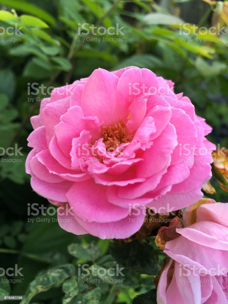Pink Damask Rose Flower Stock Photo More Pictures Of Beauty Istock