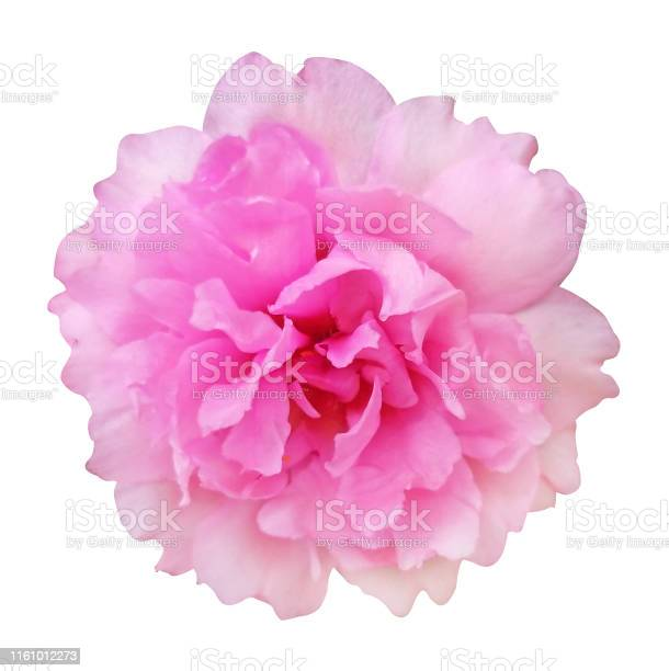 Pink damask rose on white isolated background with clipping path picture id1161012273?b=1&k=6&m=1161012273&s=612x612&h=84f qhaiyf6rduiullmnwjs4wy8e2qavlttoqscohbk=