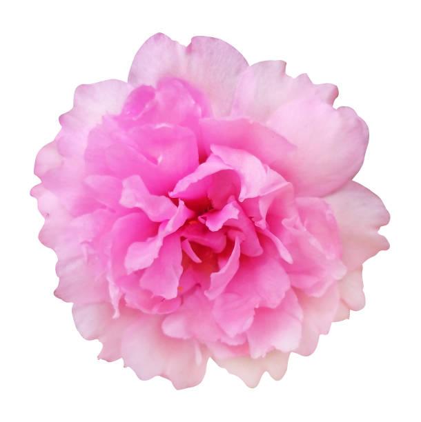 rose rose de damask sur le fond d'isolement blanc avec le chemin de coupure - damas en matière textile photos et images de collection