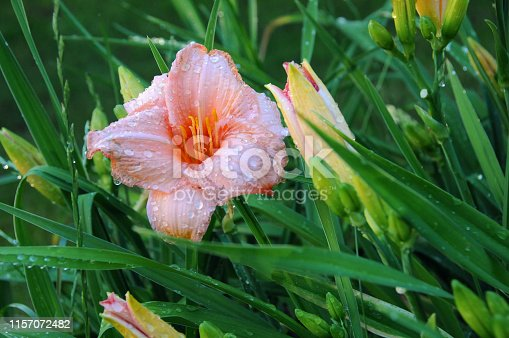 Pink daylilly flower in the garden after rain