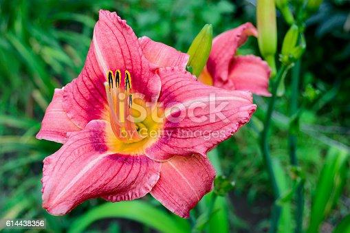 Pink daylily (Hemerocallis) closeup in the garden