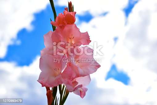 Pink Daylily flower on the background of the sky and the house with bokeh