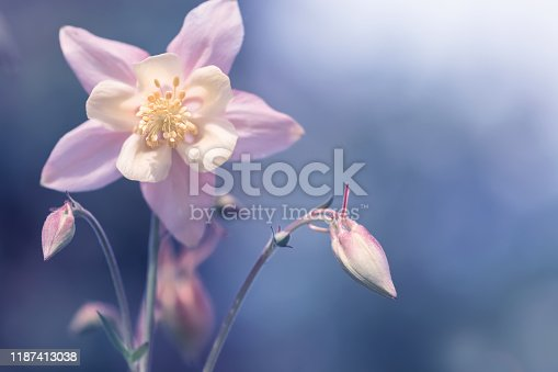 Pink delicate aquilegia on a blue abstract background. Delicate beautiful spring floral background