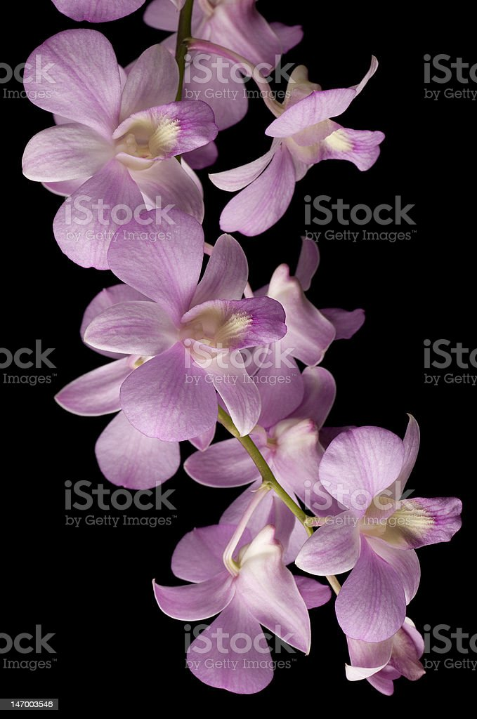 Pink Dendrobium orchid isolated on black background royalty-free stock photo